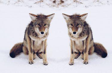 Dois lobos