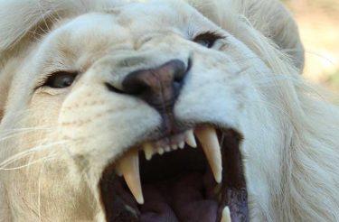 DICA DE COMO SALVAR SEU CASAMENTO: Arranque um fio do rabo do Leão – Parábola