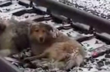 VIDEO: Cão se junta à 'namorada' ferida em linha férrea e a protege de trens por dois dias