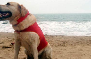 Conheça Ice, o primeiro cão salva-vidas do Brasil