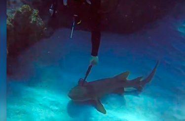 """Tubarão com faca enfiada na cabeça """"pede ajuda"""" a mergulhador [vídeo]"""