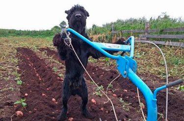 Conheça o cachorro fazendeiro que está sempre pronto para 'dar uma pata'