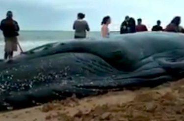 Grupo de pessoas se mobiliza e desencalha filhote de baleia no RJ! [vídeo]