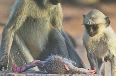 Emocionante: Veja a tocante reação dos macacos ao pensarem que perderam seu amigo! [vídeo]