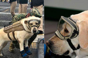 Esta Dog já resgatou 52 vidas e está salvando pessoas afetadas pelo terremoto do México