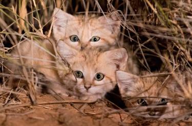 Gatinhos de areia são fotografados, por pesquisadores, pela primeira vez e eles são adoráveis!!!