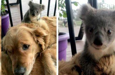 Cão surpreende dona ao salvar a vida e cuidar de coala bebê