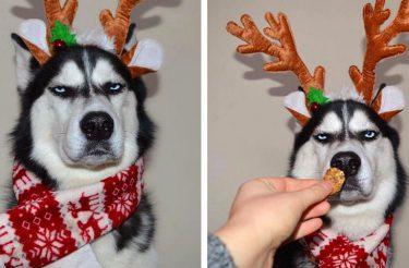 Família tenta fazer cartão de Natal com seu Husky, e o resultado é muito engraçado