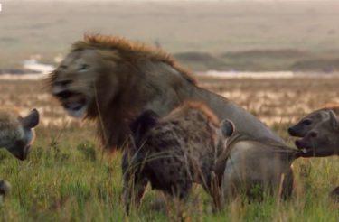Emocionante: Leão está perdendo luta contra 20 hienas, primo ouve seus gritos e corre para salvá-lo [vídeo]