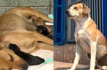 Cadela caramelo grávida 'pede' ajuda em clínica veterinária e pai espera na porta [Vídeo]